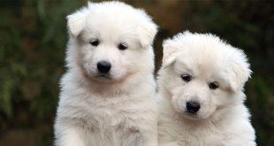 cuccioli pastore svizzero - lupi di romagna