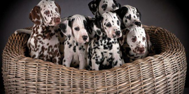 La cura dei cuccioli di Dalmata